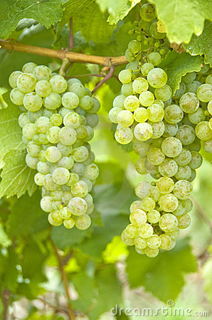 White Wine Grapes (Riesling)