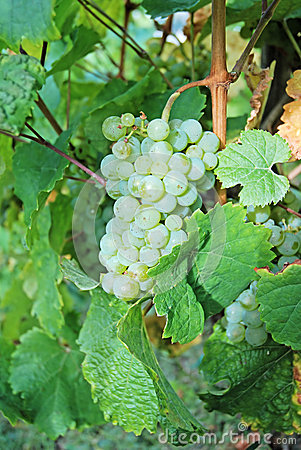 White wine grapes on a wine rank