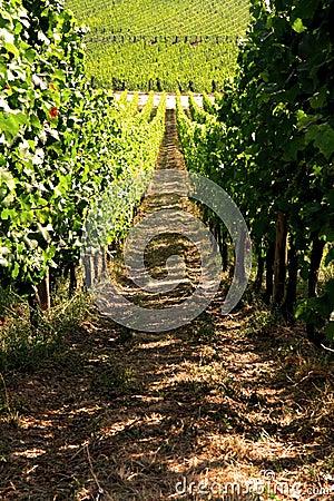 White wine vineyard in Alsace