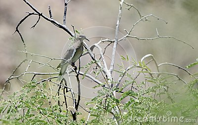 White Winged Dove, Colossal Cave Mountain Park, Arizona