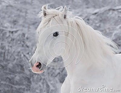 White winter horse portrait