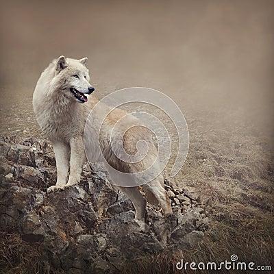 Free White Wolf Stock Photos - 36812373