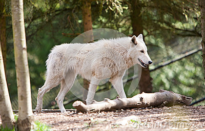 White Wolf Dtalking