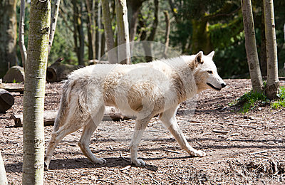 White Wolf Hunting