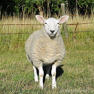 Free White Woolly Sheep Stock Images - 19639764