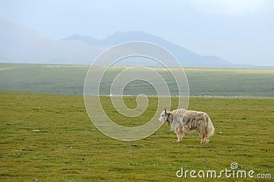 A white yak