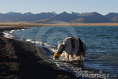 White yak in Tibet