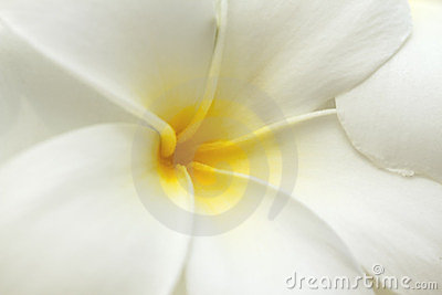 White and yellow frangipani flowers.