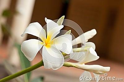 White and yellow frangipani flowers