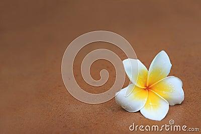White and yellow frangipani flowers on brown sand