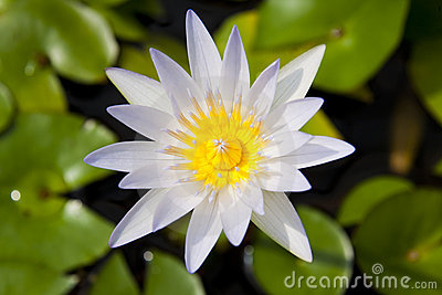 White and Yellow Water Lilly