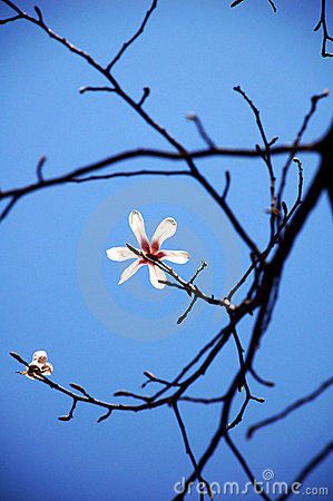 Free White Yulan Flowers In Spring Stock Photography - 5259632