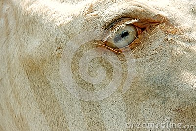 White Zebra  Stock Photos - Image: 5937653