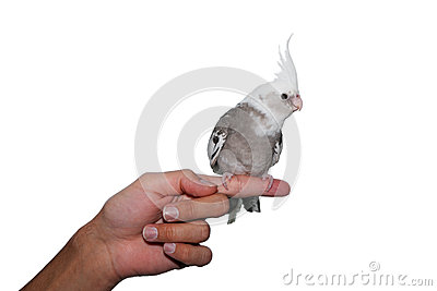 Whiteface cockatiel pet