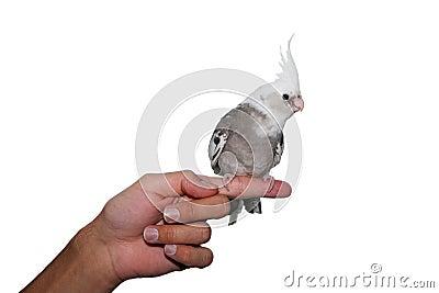 Whiteface cockatiel pet