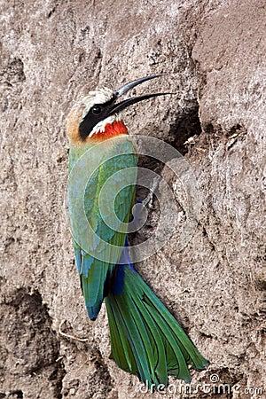 White-fronted Bee Eater - Botswana