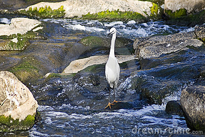 Whiter heron in river