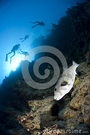 Whitespotted pufferfish and scuba divers.