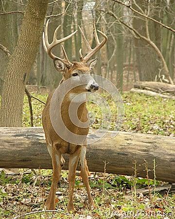 Free Whitetail Buck 9 Stock Photography - 1276012