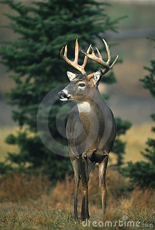 Whitetail Buck in Clearing