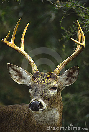 Whitetail Buck Close Up