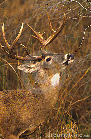 Whitetail Buck Licking a Branch