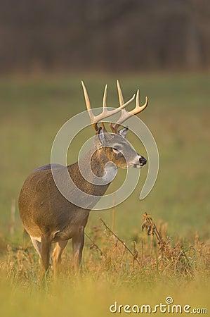 Whitetail buck in morning light
