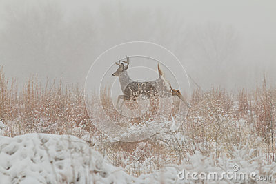 Whitetail Buck Running