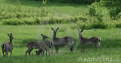 Whitetail deer 5