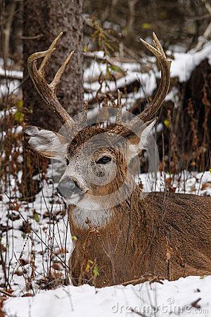 Whitetail Deer Buck Bedded in Snow