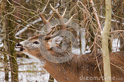 Whitetail Deer Buck Fall Rut Lip Curl