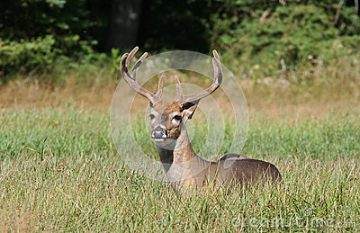 Whitetail Deer Buck Laying Down in Tall Grass
