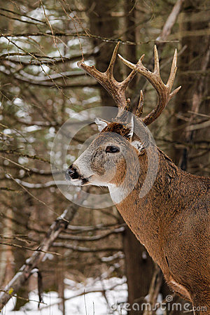 Whitetail Deer Buck in Snow