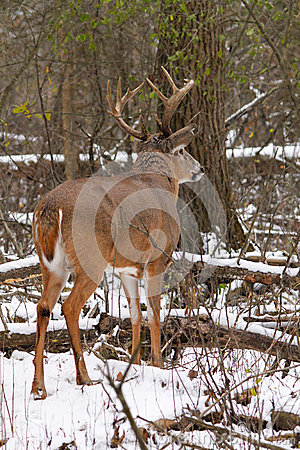 rut royalty free stock images whitetail rut rut crazed color deer
