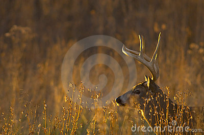 Whitetail deer buck at sunset