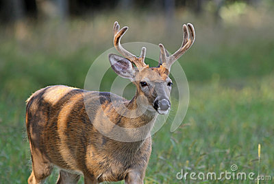 Whitetail Deer Buck with Velvet on Antlers
