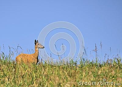 Whitetail Deer Doe