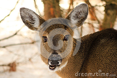 Whitetail Deer Doe Chewing in Winter
