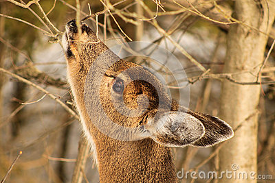 Whitetail Deer Doe Feeding in Winter