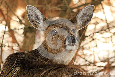 Whitetail Deer Doe Giving the Eye