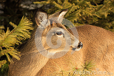 Whitetail Deer Doe Winter Posing
