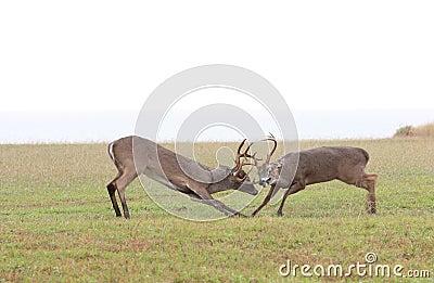 Whitetail Deer Fighting