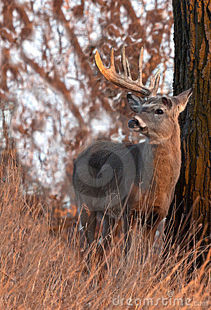 Free Whitetail Deer Shedding Antlers Stock Images - 23972414