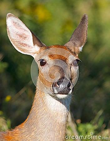 Whitetail doe