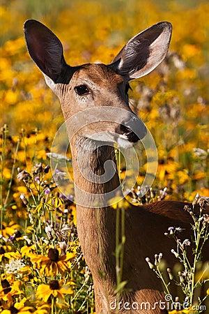 Free Whitetail Doe Deer Stock Image - 18030921