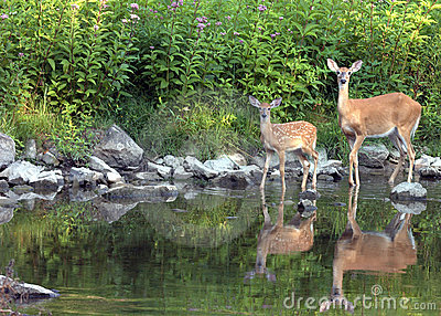 Whitetail Doe With Fawn