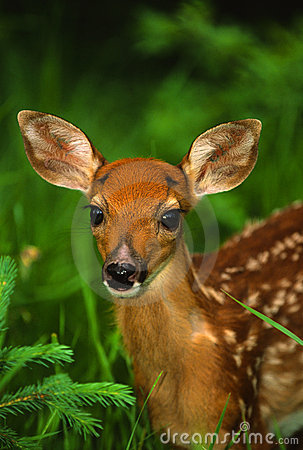 Whitetail Fawn Portrait