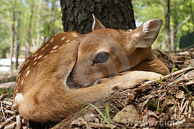Whitetail New Born