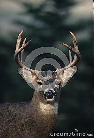 Whitetailed Deer Buck Portrait