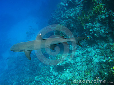 Whitetip reef shark, Marsa Alam